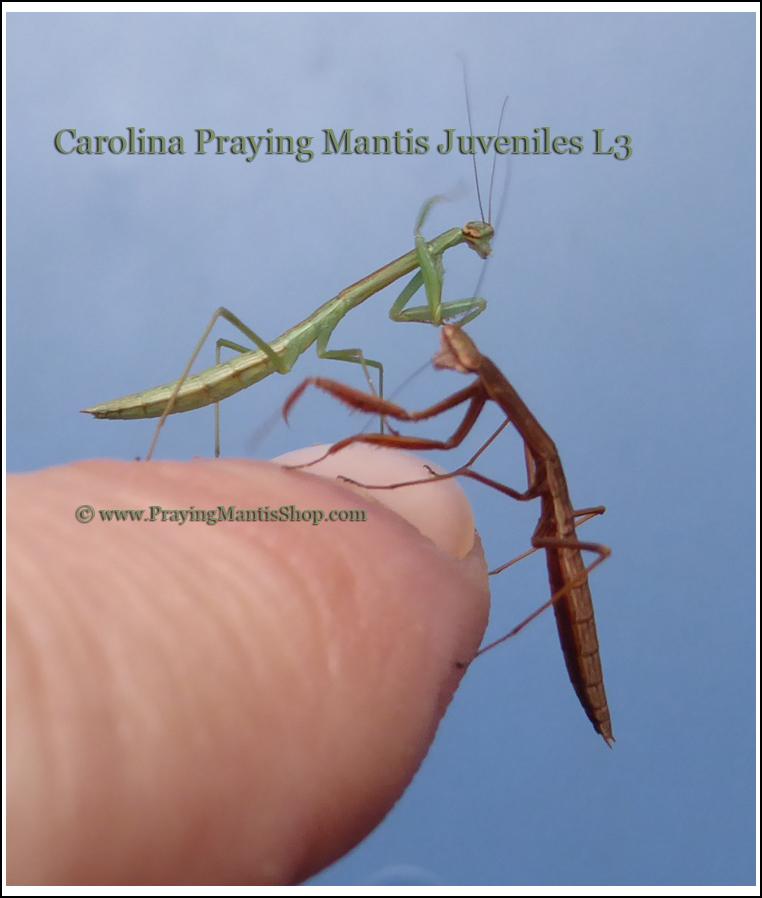 Praying Mantises For Sale Purchase Living Praying Mantis Nymphs