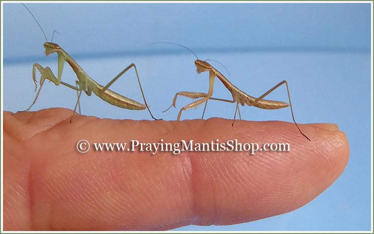 Chinese Praying Mantis L3 Nymphs LIVE L2